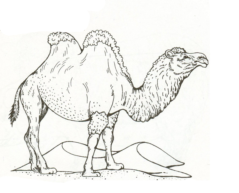 Верблюд раскраски домашних животных