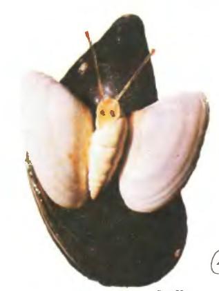Бабочка - Поделки из ракушек